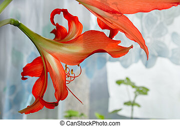 couple hippeastrum looking toward light from window
