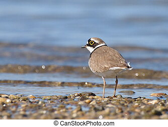 Little Ringed Plover on river, Charadrius dubius