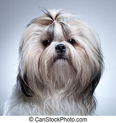 Shih tzu dog on grey background portrait.