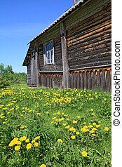 dandelions near old wooden rural building