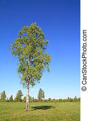green birch on spring field