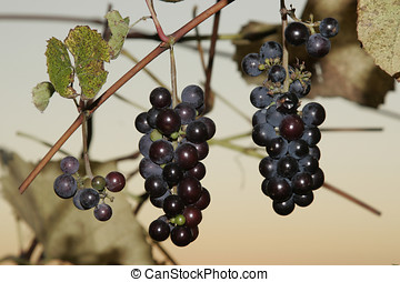 Three stalks of black grapes - Close up of three stalks of...