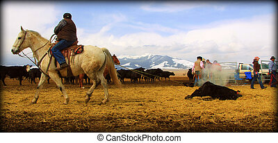 A day in the office - Montana - Cowboys Branding cattle in...