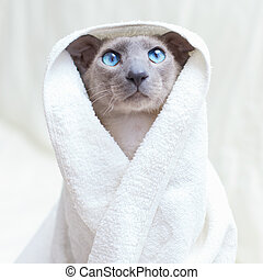 Hairless Cat in Towel - funny hairless oriental cat in...