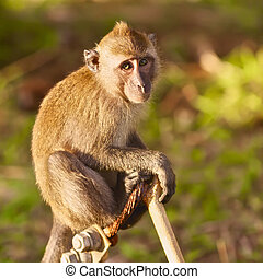 Macaque Monkey - macaque monkey sitting on branch at summer...