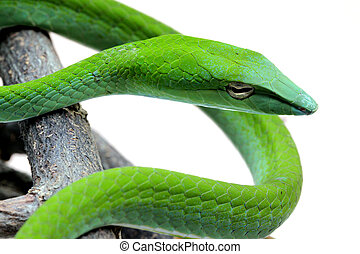 The Rough Green Snake with half body Isolated on White