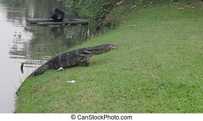 Monitor Lizard Retreats To Water - A large monitor lizard...