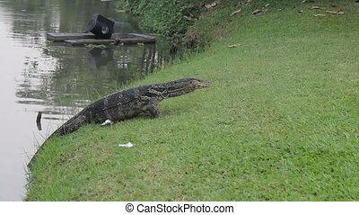 Monitor Lizard Retreats To Water - A large monitor lizard...