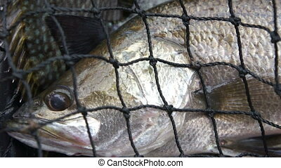 Sea Bass Caught - Fish- Sea Bass caught in the net