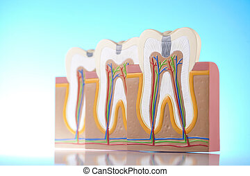 Human tooth structure - 