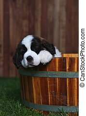 Adorable Saint Bernard Pups