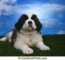 Adorable Saint Bernard Pups - Cute and Adorable Saint...