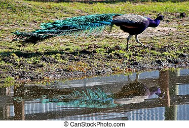 Peacock reflection