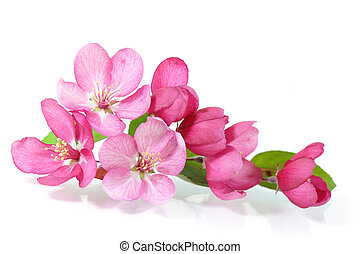 Red Cherry Blossom - Red cherry blossom flower isolated on...