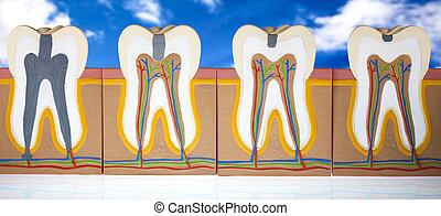 human, dente, Estrutura