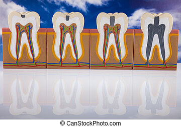 Anatomy of the tooth  - Anatomy of the tooth