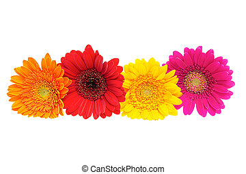 Four Gerber Daisy isolated on white background