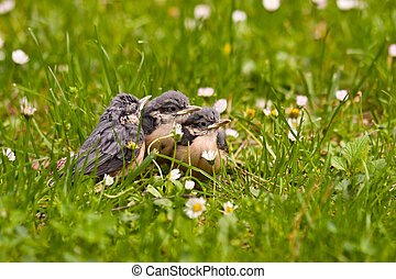 Young Nuthatches