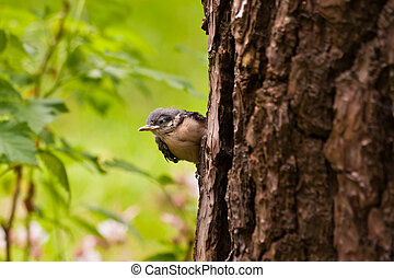 Young Nuthatche