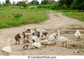 Gooses on rural path - Gooses are grazing, agriculture