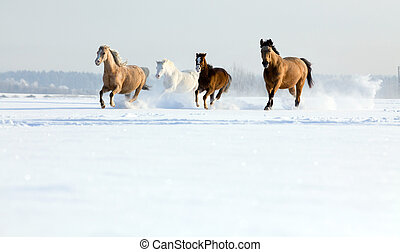 Group of horses running in winter - Group of horses runs...