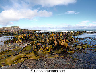 Kelp covered coast, rocks, sea - New Zealand coast covered...