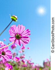 Cosmea flowers