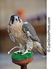 arab falcon bird - arabic bird falcon predator with sharp...