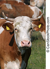 Portrait of white brown cow