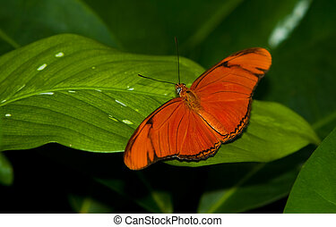 Julia Longwing Butterfly - A Julia Longwing Butterfly (Dryas...