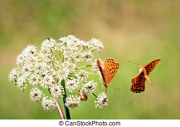 Orange butterflys - Close up of two orange butterflies One...