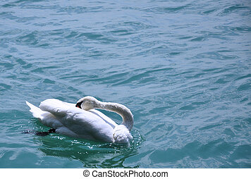In the Oblivion - A swan swimming in Lake Geneva
