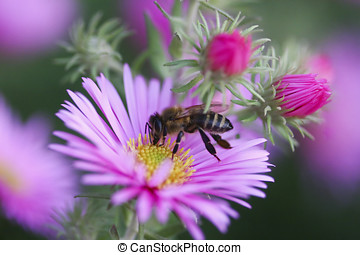 Aster flower with bee - Bee on a flower looking for pollen