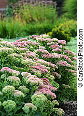Sedum Garden - Sedum ready to bloom in a garden
