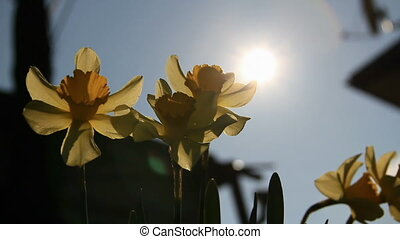 Sundisk through narcissuss - Sun-disk through yellow...