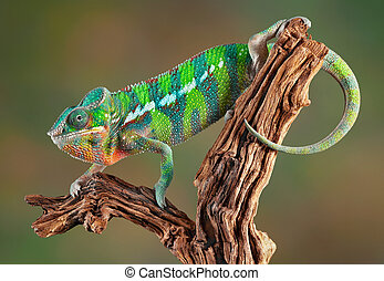 Panther Chameleon - An ambilobe panther chameleon is...
