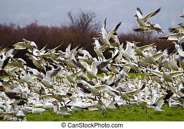 Lift Off Hunderds of Snow Geese Taking Off - Hundreds of...