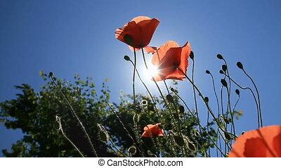 Red poppys sunlit