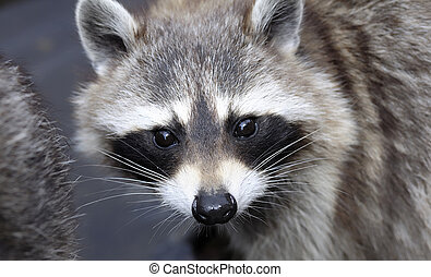 Racoon (Procyon lotor) face, close-up - Wild Racoon (Procyon...
