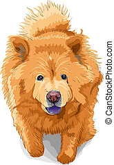 vector color sketch of a dog chow-chow breed - color sketch...