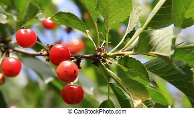 Cherries fruits close-up