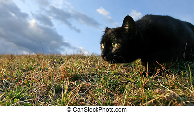 Sneaking black cat - Black domestic cat on the meadow is...
