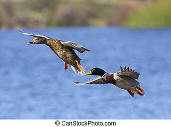 Mallard Duck Couple Landing - Mallard Duck Couple landing on...