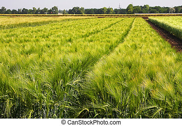 Green wheat field on a summer day - The green field of...