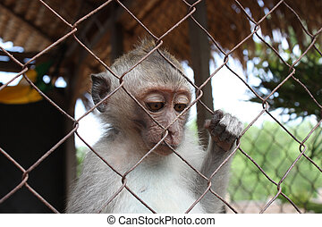 Monkey in a cage - Monkey bali small in a cage