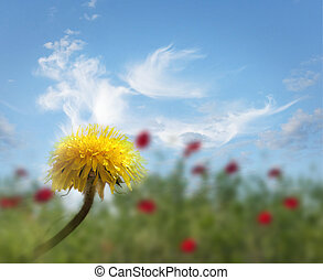 dandelion in field with red poppies - Close up od dandelion...