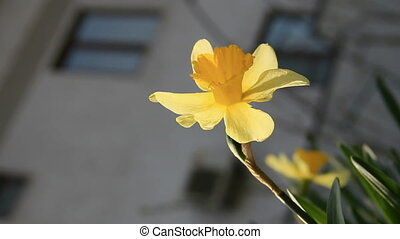 Garden yellow narcissus on background house wall