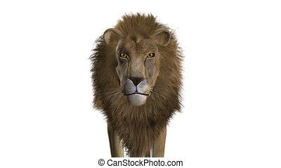 lion - image of male lion