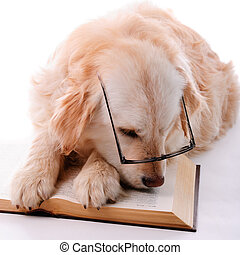 Golden retriever learning - Golden retriever puppy isolated...
