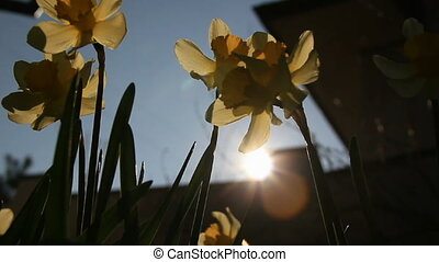 Sunlit through narcissuses flower - Backlight garden...